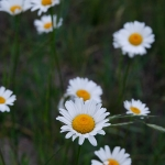 Queneau_wildflowers-2098