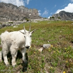 Bighorns and Mountain Goats