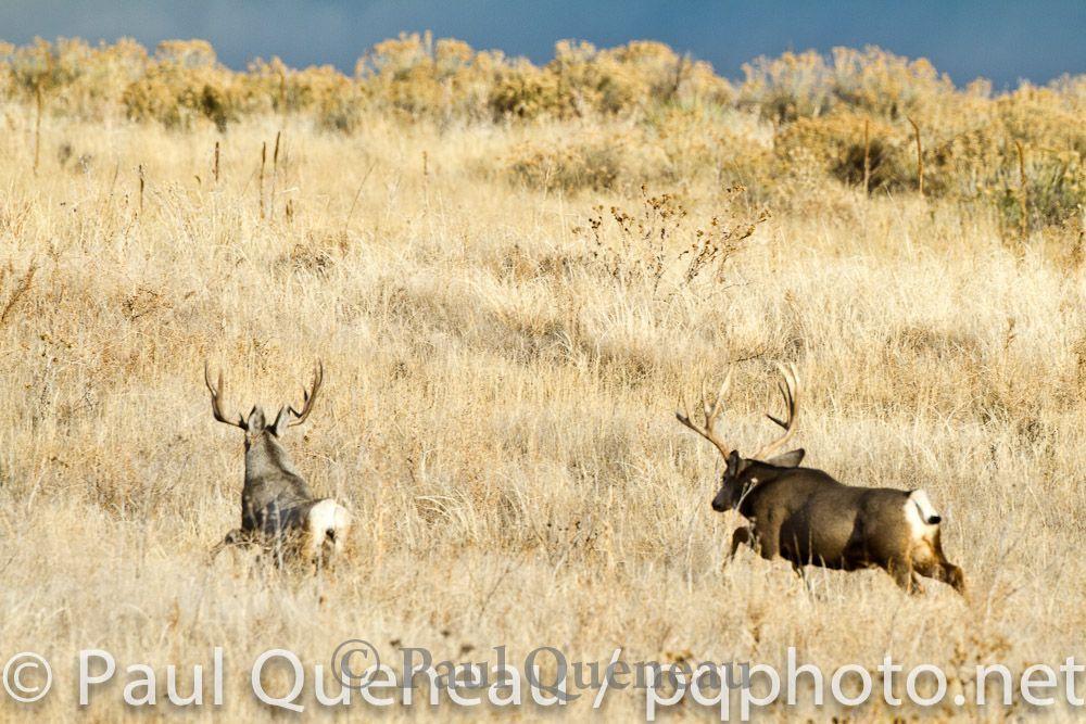 Mule Deer | Paul Queneau Photography