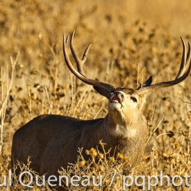 A massive Colorado mule deer buck demostrates flehmen, testing the air for does in estrus.