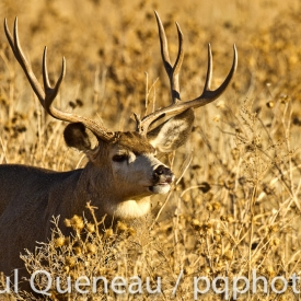 A mule deer buck curls its lip, testing the air for love during the fall rut in Colorado