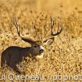 A brahma bull of a mule deer buck.