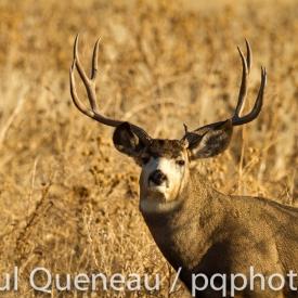 A heafty Colorado mule deer in rut