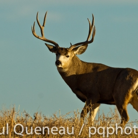 A giant mule deer buck poses in golden afternoon light against a Colorado blue sky