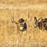 A mule deer buck trails what may well be a hybrid mule deer/whitetail doe  in Colorado.