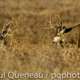 Two mature mule deer bucks face off in Colorado during the autumn rut.