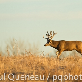 A Boone and Crockett Colorado buck bounds along at a trot after a doe during the rut.