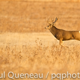 A Boone and Crockett Colorado buck stoting a full speed after a doe during the rut.