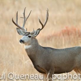 A large mature mule deer buck during the rut in Colorado.