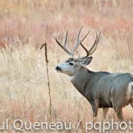 A large mature mule deer buck keeps a watchful eye during the rut in Colorado.