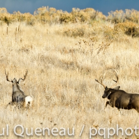 A Boone and Crockett mule deer buck chases off another buck during the rut