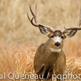 An incredibly wide mule deer buck in Colorado.