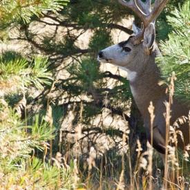A massive old mule deer buck keeps watch amid Ponderosa pines in Colorado.
