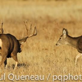 A gargantuan  mule deer buck follows a doe  during the November rut.