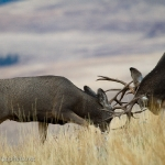 Muleys-sparring_11-1-09-9390