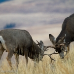 Muleys-sparring_11-1-09-9410