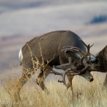 Muleys-sparring_11-1-09-9437