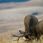 Muleys-sparring_11-1-09-9438