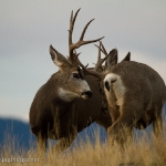 Muleys-sparring_11-1-09-9455