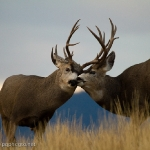 Muleys-sparring_11-1-09-9458