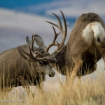 Muleys-sparring_11-1-09-9491