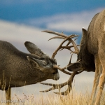 Muleys-sparring_11-1-09-9499